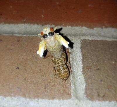 cicada-2440728_960_720