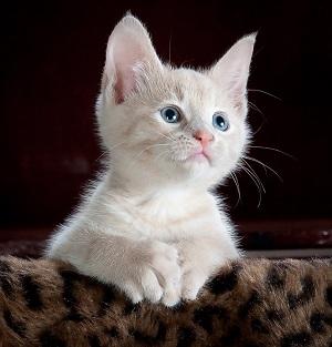 kitty-551554_960_720